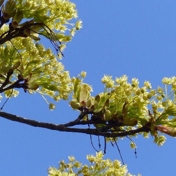 Topic Natuur: Lindebomen