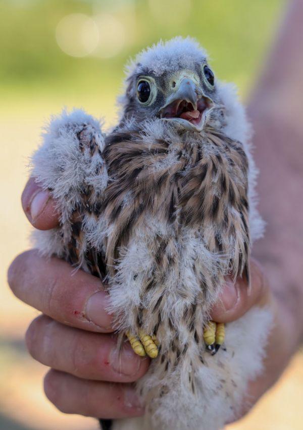 Roofvogel- en uilenwerkgroep IVN Maas & Niers 12