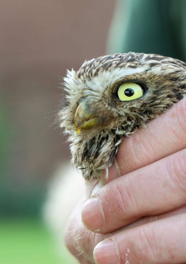 Roofvogel- en uilenwerkgroep IVN Maas & Niers 13
