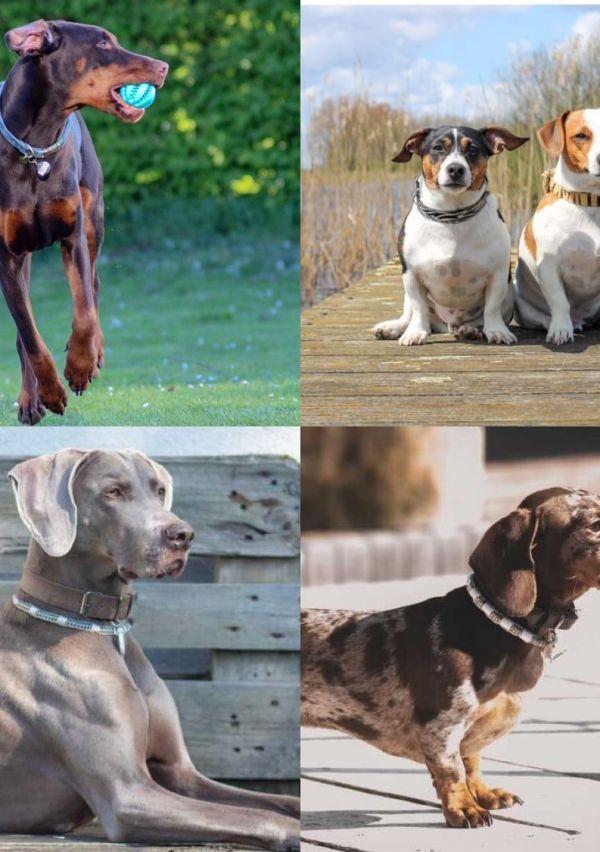 De mooiste anti-teken/vlooien banden en halsbanden voor jouw hond! 2